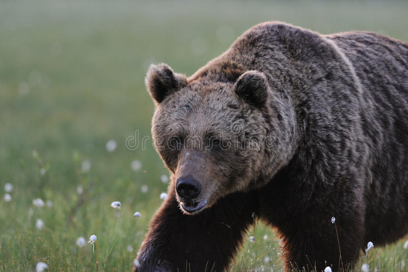 Grande marche mâle d'ours photos stock