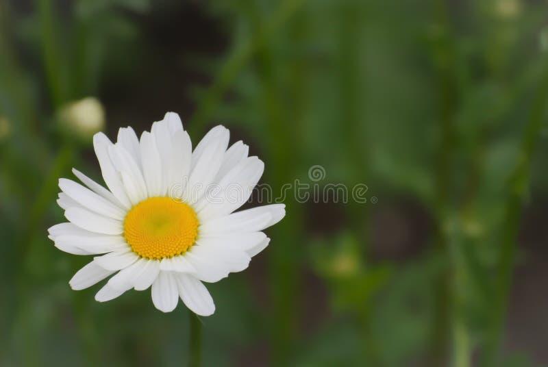 Grande marguerite blanche sur un fond vert brouill? photos libres de droits
