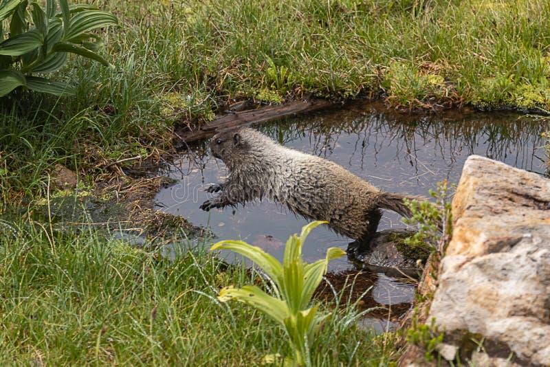 grande marmotte sautant l'étang dans le pré photo stock