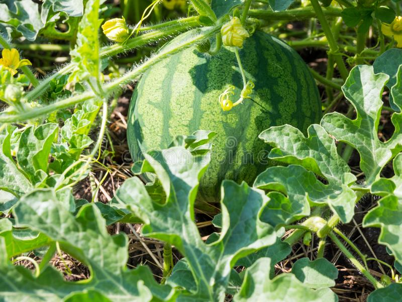 A grande melancia cresceu na casa de campo em Rússia central imagem de stock