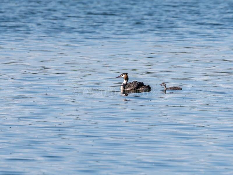 Grande mergulhão com crista, cristatus do Podiceps, adulto com o juvenil dois fotografia de stock royalty free