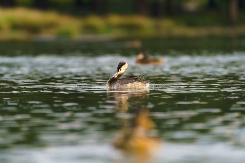 Grande mergulhão com crista ( Podiceps cristatus) juvenil, recolhido o Reino Unido imagens de stock royalty free