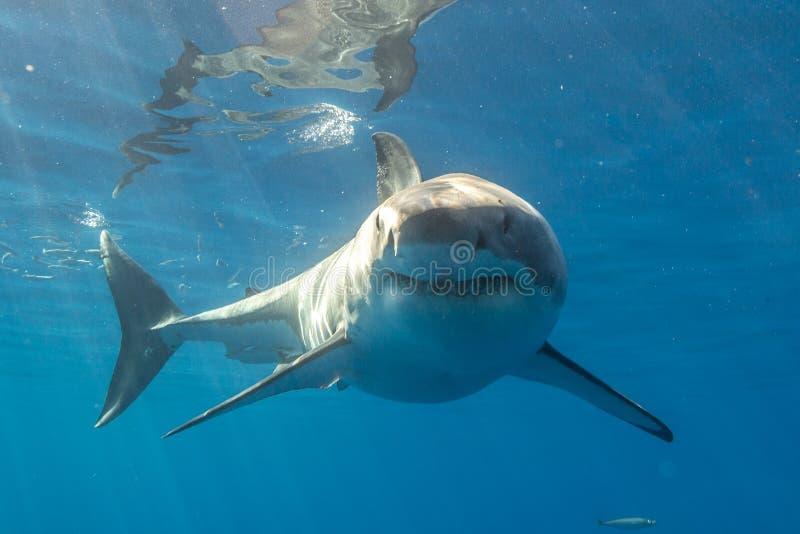 Grande mergulho do tubarão branco em México imagens de stock
