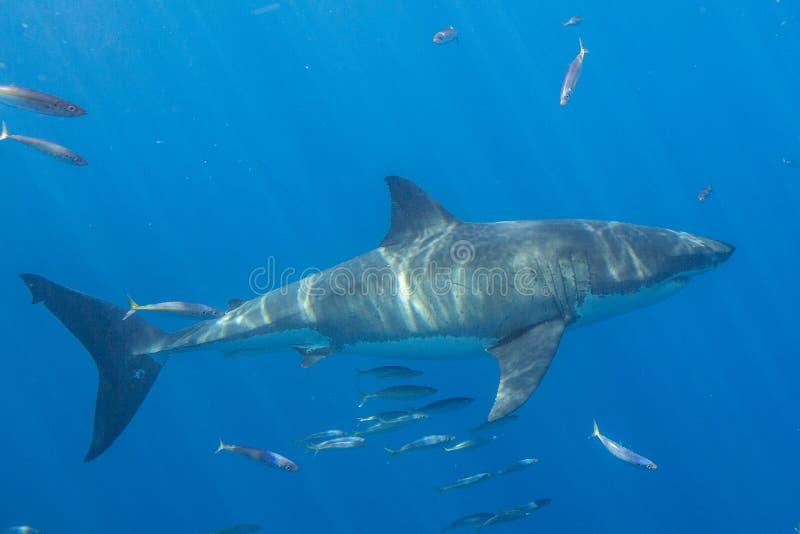 Grande mergulho do tubarão branco em México fotos de stock royalty free
