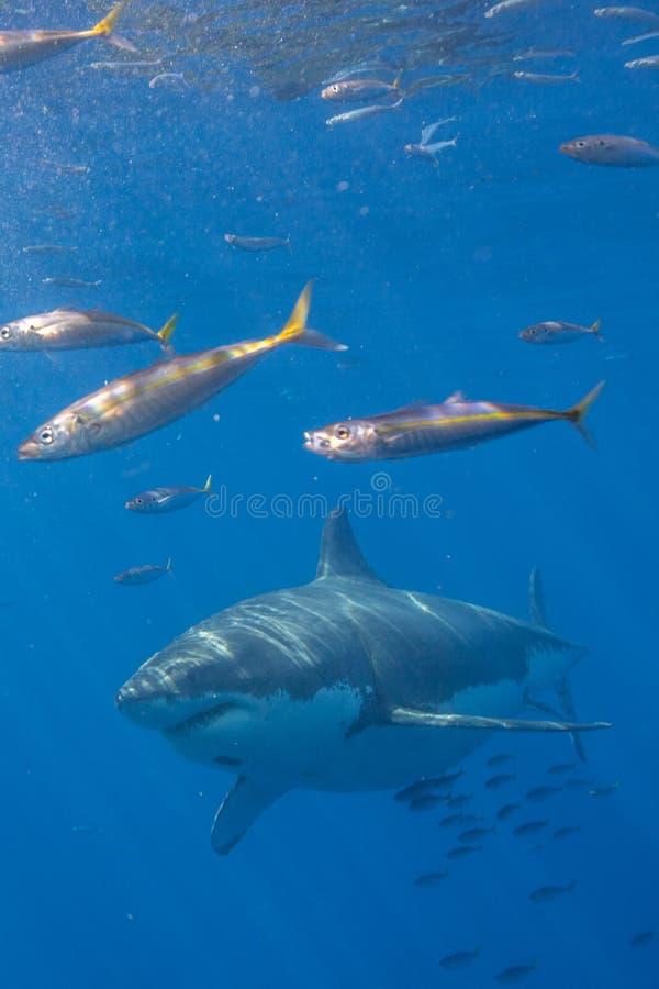 Grande mergulho do tubarão branco em México imagem de stock royalty free