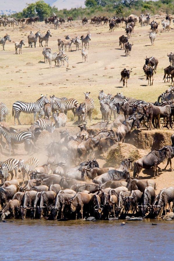 A grande migração imagens de stock royalty free