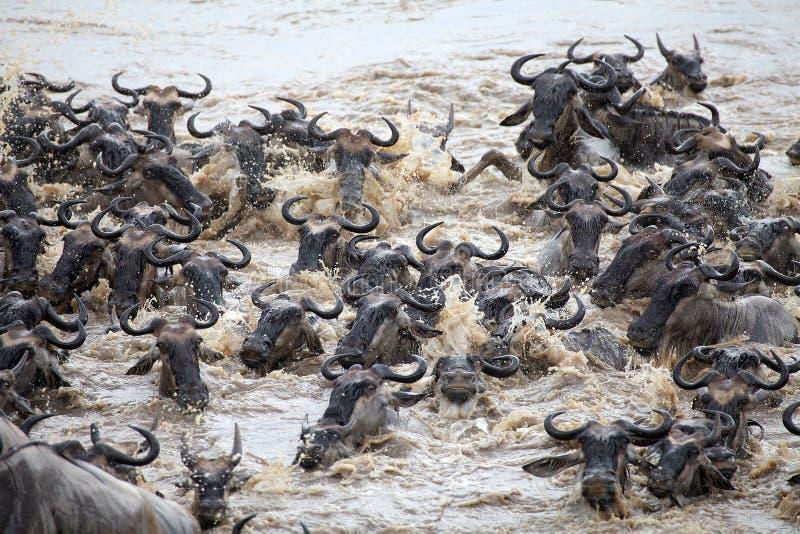 Grande migração do gnu (taurinus do Connochaetes) imagens de stock