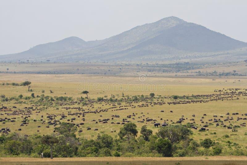 A grande migração no Masai Mara fotografia de stock