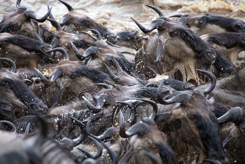 Grande migration de gnou (taurinus de Connochaetes) image libre de droits