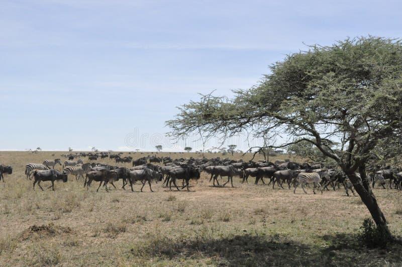 Grande migration sur le mouvement en parc national de Serengeti photos libres de droits