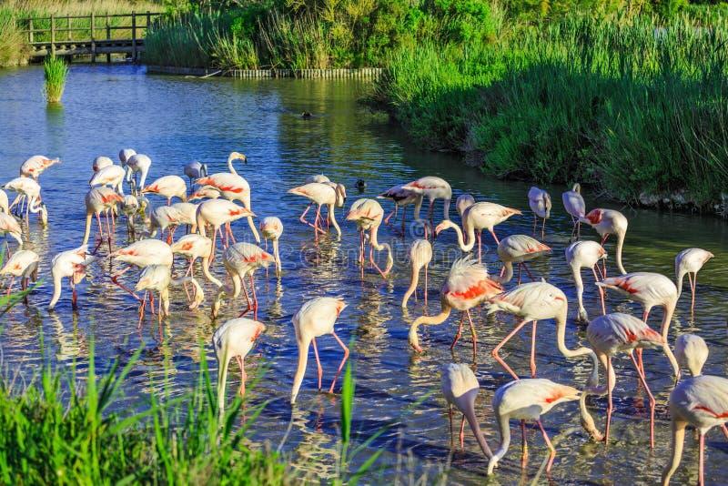 Grande moltitudine di fenicotteri rosa Posatoio esotico pittoresco degli uccelli al tramonto  immagine stock libera da diritti