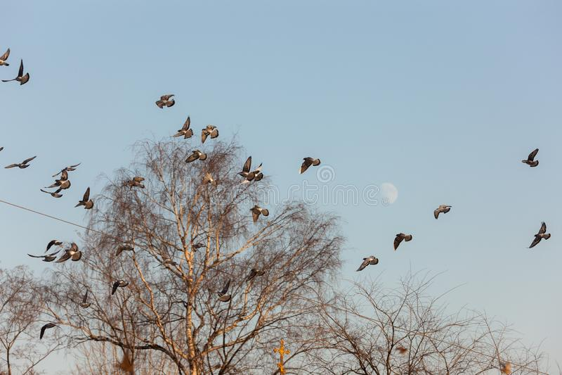 Grande moltitudine di piccioni fotografia stock libera da diritti