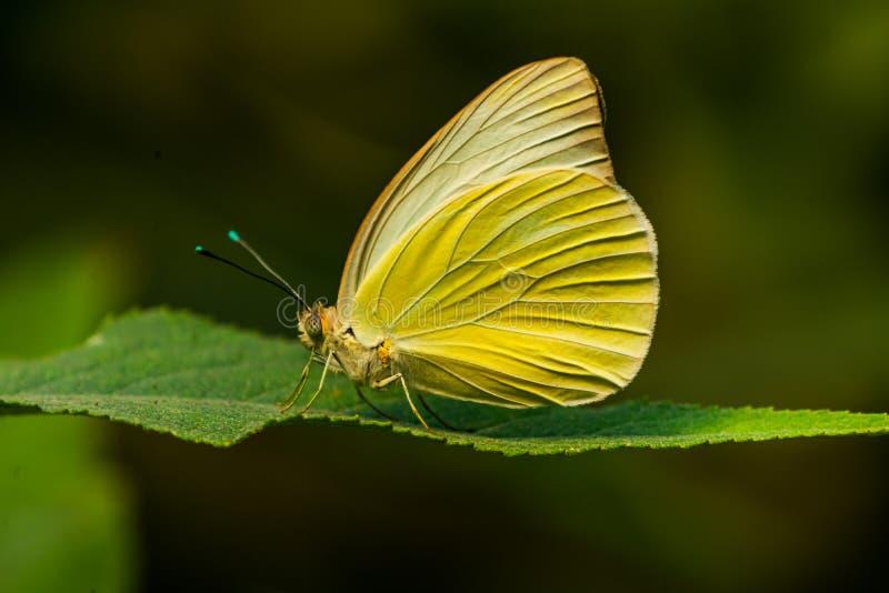 Grande monuste branco do sul Seattle Washington de Ascia da borboleta imagens de stock royalty free
