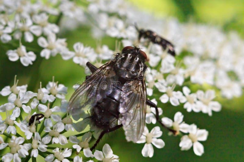 Grande mosca comune nera sui piccoli fiori immagine stock