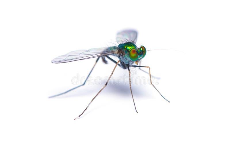 Grande mosca equipada com pernas longa verde no fundo branco imagem de stock royalty free