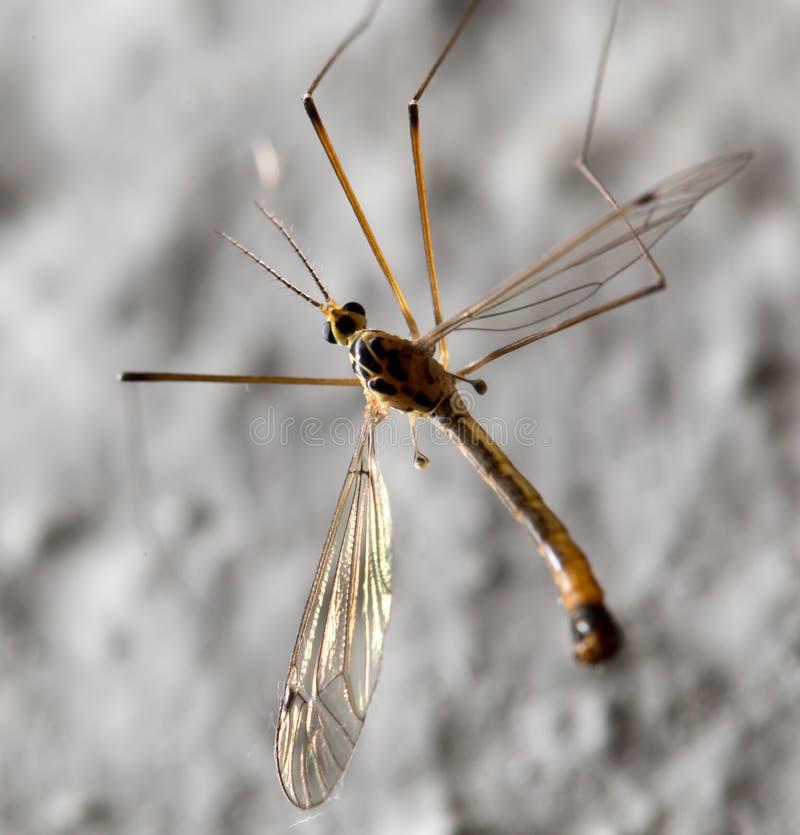 Grande mosquito Macro imagens de stock royalty free