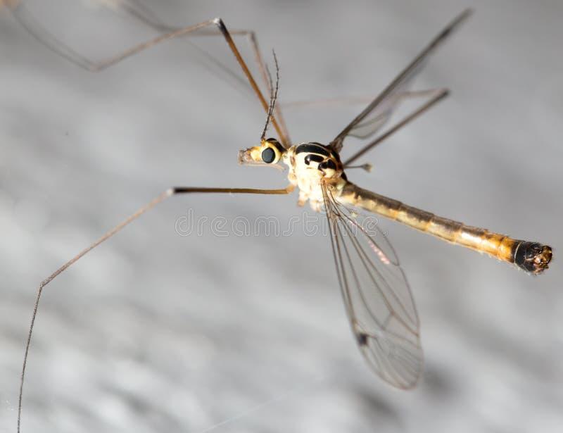 Grande mosquito Macro fotografia de stock royalty free
