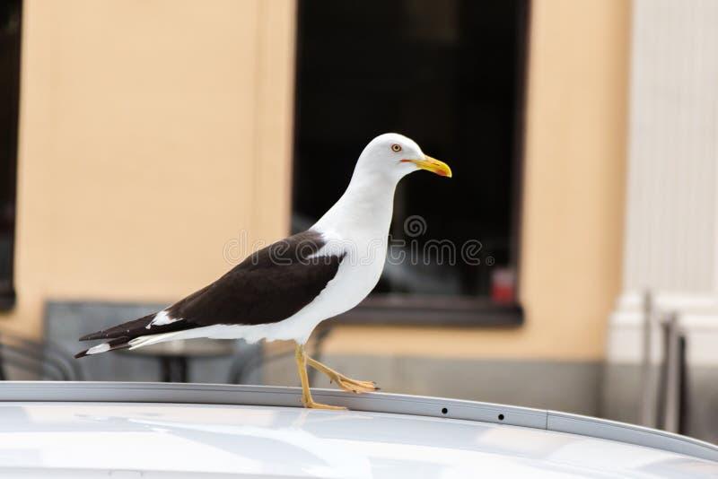 Grande mouette blanche sur le toit de voiture image stock