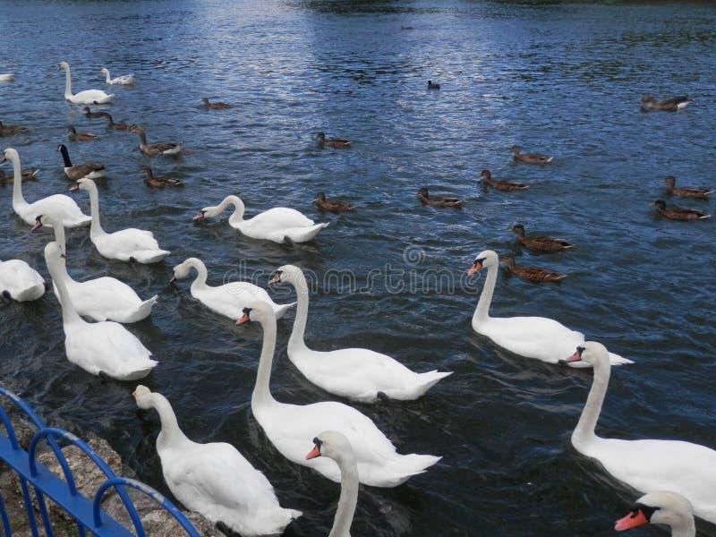Grande multidão de cisnes mudas e de patos que alimentam no rio Tamisa imagem de stock royalty free