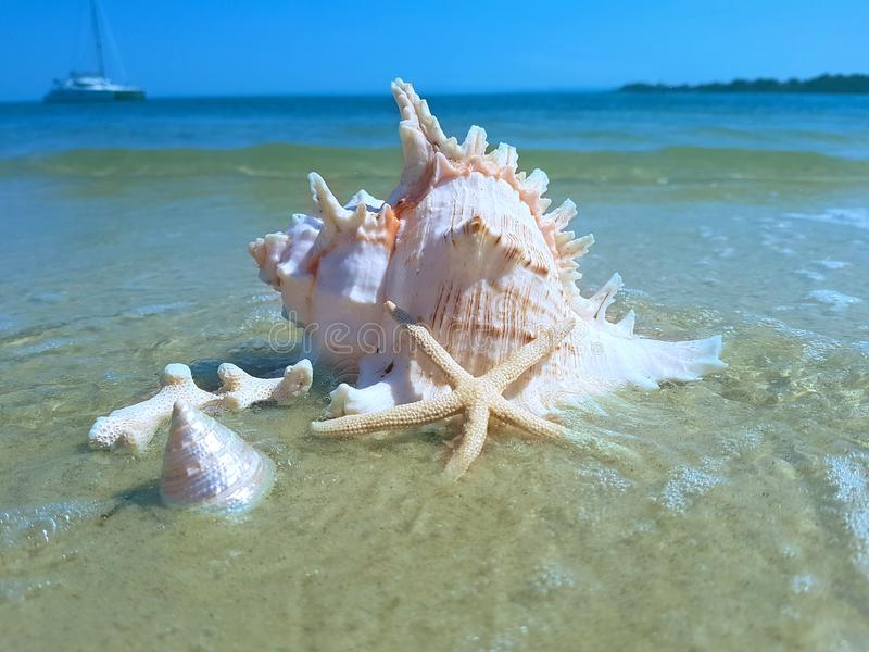 Grande Murex Shell na praia fotos de stock royalty free
