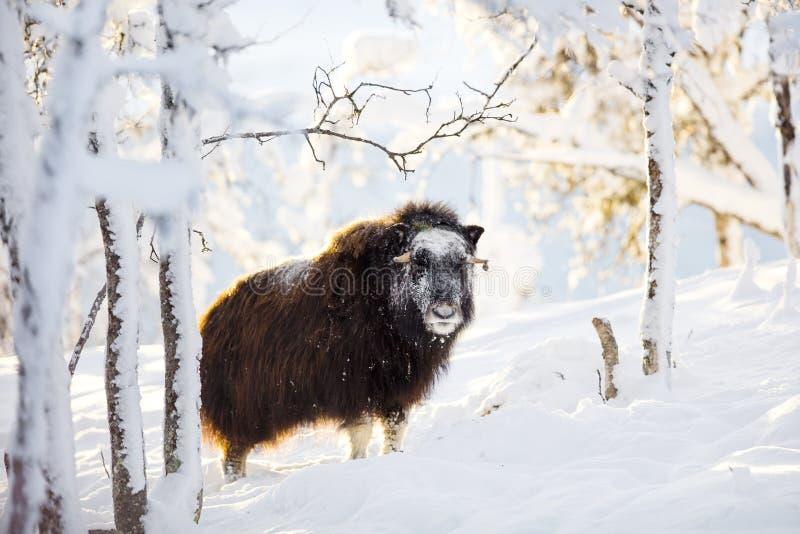 Grande muschio che sta nella neve di inverno al tramonto fotografia stock
