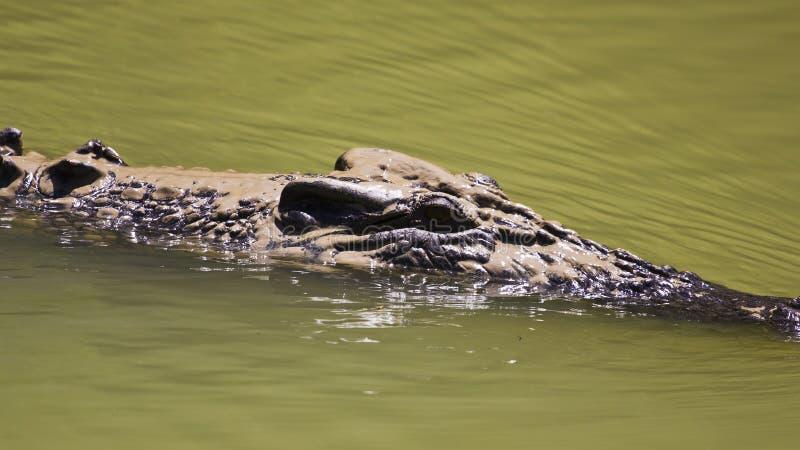 Grande natation de crocodile d'eau de mer images stock