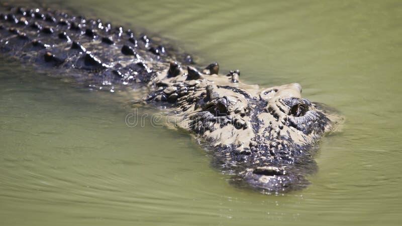Grande natation de crocodile d'eau de mer photos stock