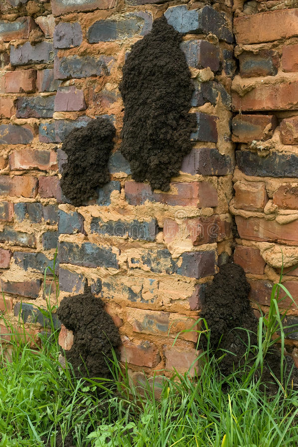 Grande nido fungo a crescita della termite fotografie stock libere da diritti