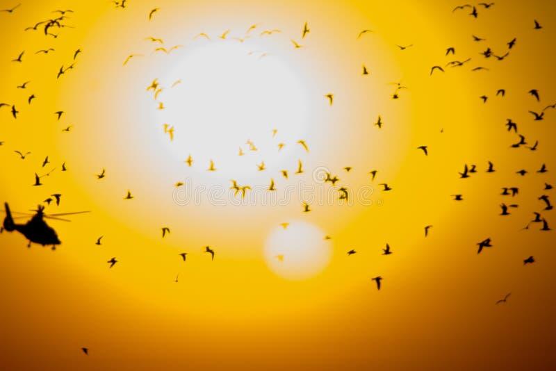 Grande numero degli uccelli e di un elicottero contro lo sfondo del sole immagini stock libere da diritti