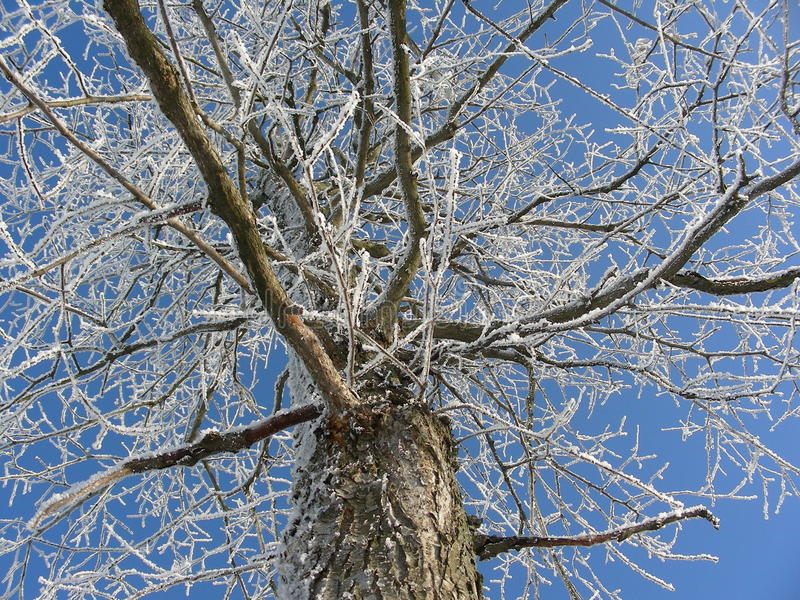Grande opinião de árvore de baixo de, nos ramos de espalhamento, cobertos com a neve e a geada imagens de stock