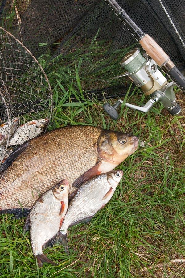 Grande orata comune d'acqua dolce e pesce d'argento bianco o dell'orata dell'orata con la canna da pesca con la bobina su sfondo  immagine stock libera da diritti