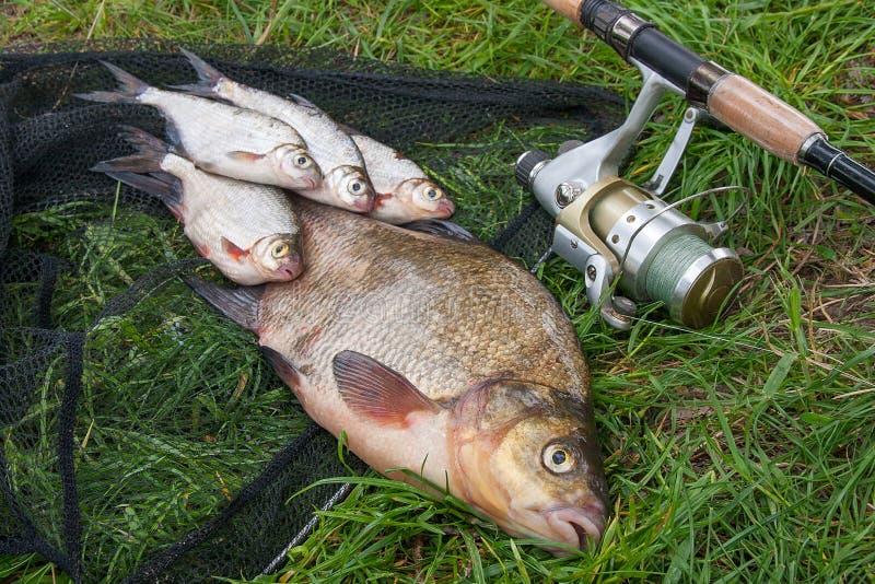 Grande orata comune d'acqua dolce e pesce d'argento bianco o dell'orata dell'orata con la canna da pesca con la bobina su sfondo  immagini stock libere da diritti