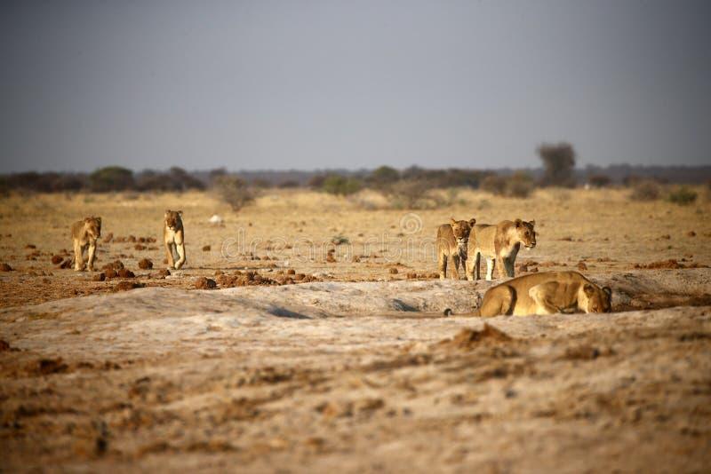 Grande orgoglio dei leoni che entrano bere immagini stock