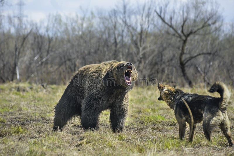 Grande orso bruno con il cane fotografia stock