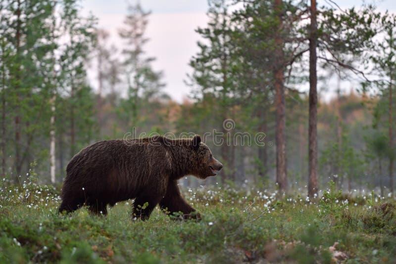 Grande orso bruno maschio che cammina nell'erba sbocciante fotografia stock