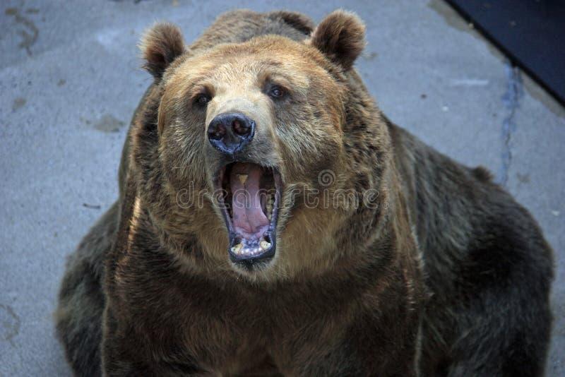 Grande orso della bocca immagine stock libera da diritti