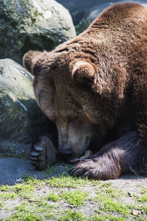 Grande orso grigio marrone che si trova al sole fotografia stock