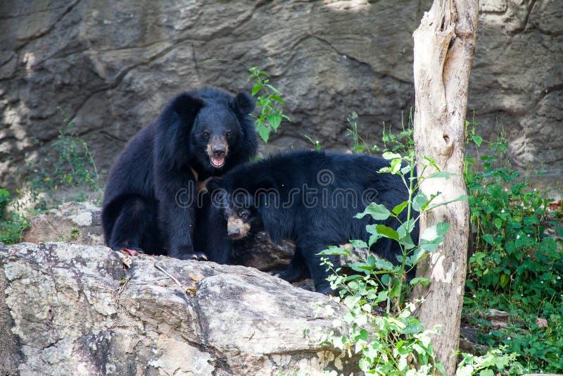 Grande orso nero asiatico fotografie stock libere da diritti