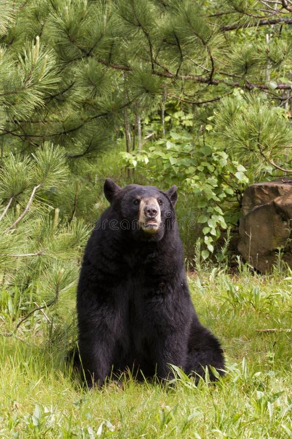 Grande orso nero nella posizione seduta fotografie stock libere da diritti