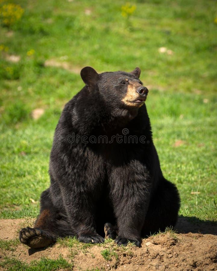 Grande orso nero orientale che si siede nel campo fotografie stock libere da diritti