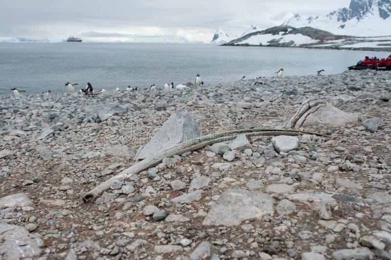 Grande osso antico sulla spiaggia immagine stock libera da diritti