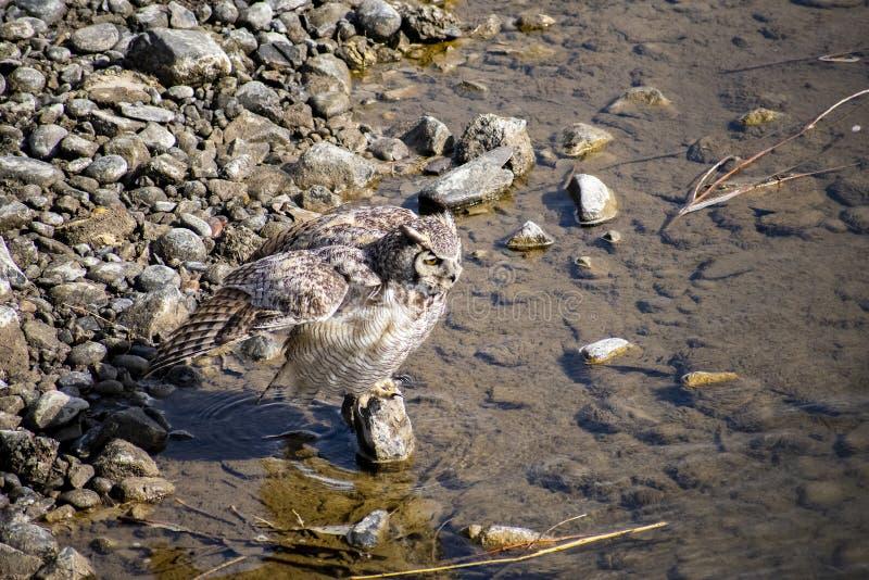 Grande Owl Bathing Horned imagens de stock