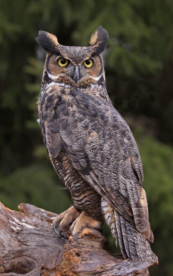 Grande Owl Look Horned foto de stock royalty free