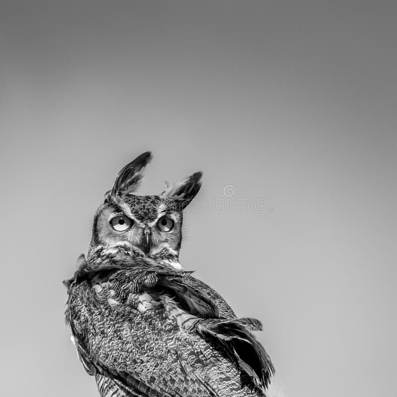 Grande Owl Looking Backwards Horned no vento - B&W imagem de stock royalty free