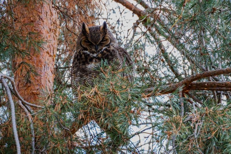 Grande Owl Quiet Horned foto de stock royalty free