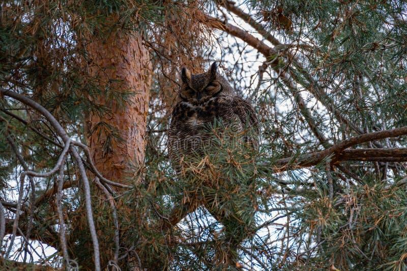 Grande Owl Sleeping Horned imagens de stock