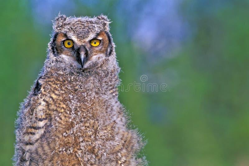 Grande Owlet Horned fotografia de stock