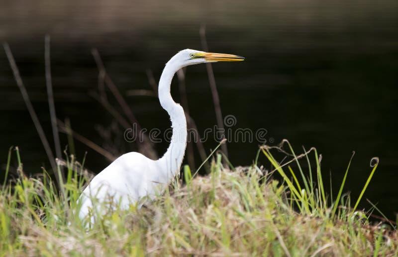Grande grande pássaro branco do Egret foto de stock