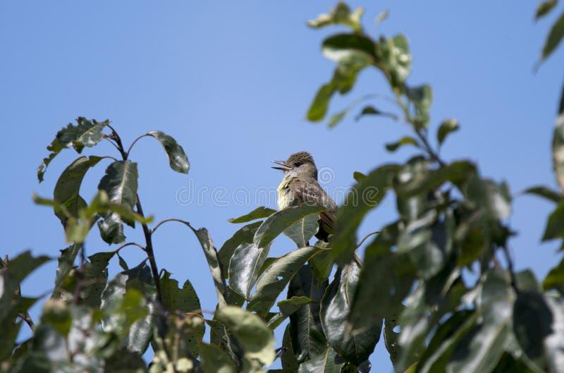 Grande pássaro com crista do papa-moscas, Atenas Geórgia EUA fotos de stock