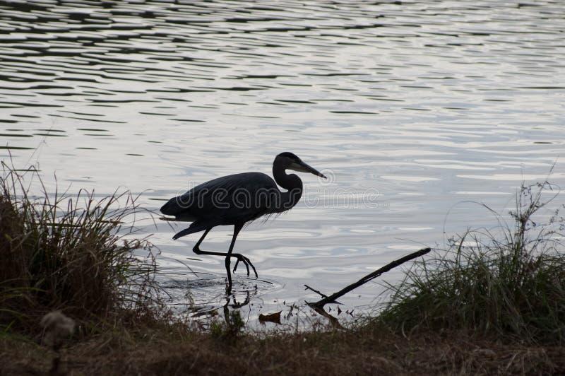 Grande pássaro da garça-real azul no parque estadual do outono imagens de stock royalty free